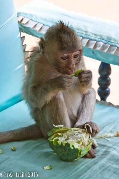 monkeys in our tuk-tuk eat lotus pods