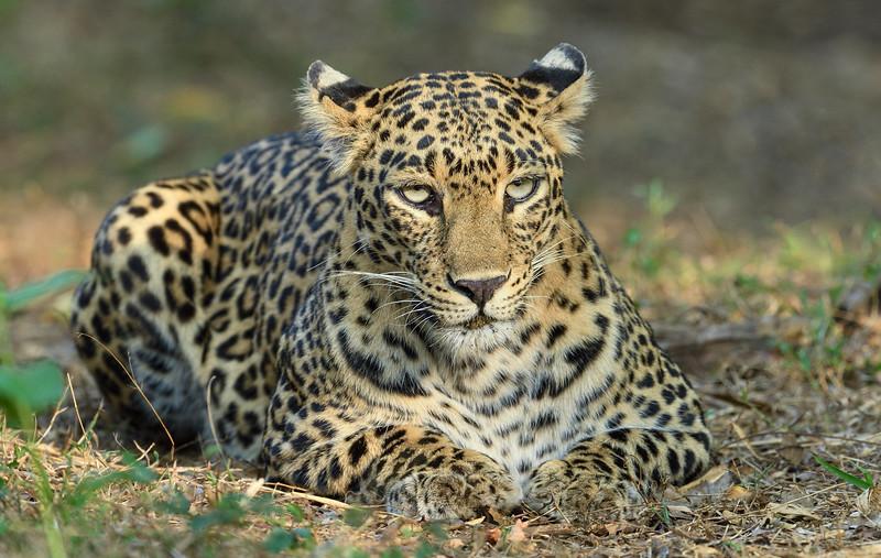 Leopard-Bhadra-1.jpg