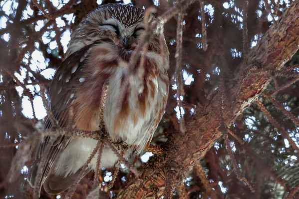 11-22-15 *^Nothern Saw-whet Owl