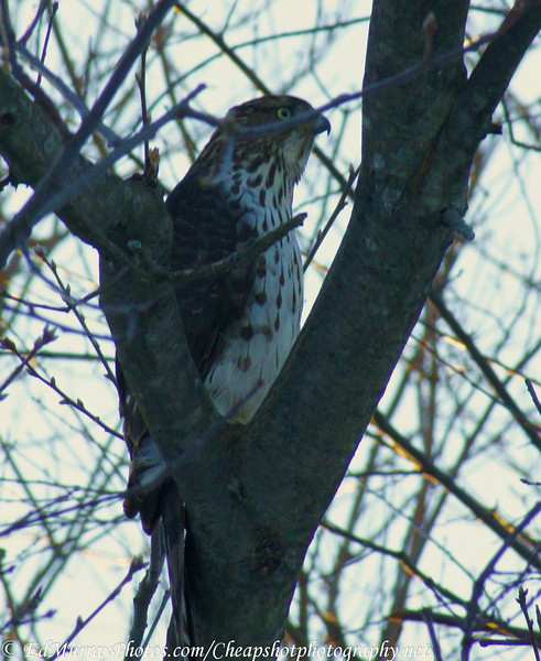 Tree Hawk: I was at a traffic light and I spied this guy hiding in the trees.....