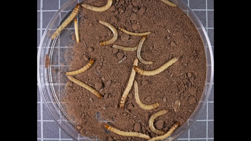 Wireworm Project