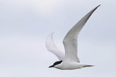 Tern, Gull-Billed