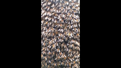 Film footage of Bees Swarming on gatepost