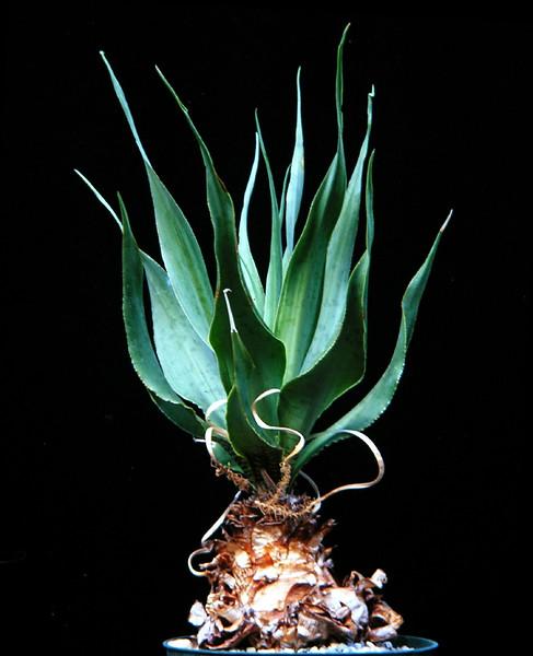 Ledebouria marginata
