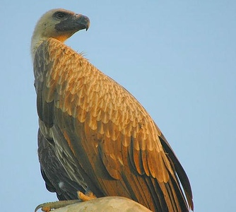 Eurasian Griffon Vulture (escape)