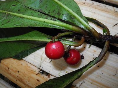 Myrsinaceae_Primulaceae