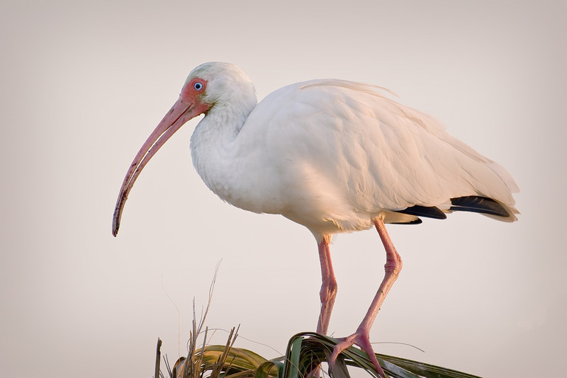 white ibis sunrise  20D  _MG_1381.jpg