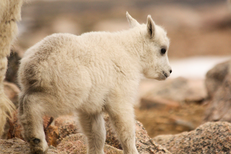 Baby Mountain Goat at 14K feet.jpg
