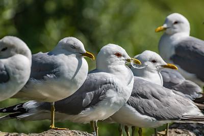 Mew Gull [Larus canus]