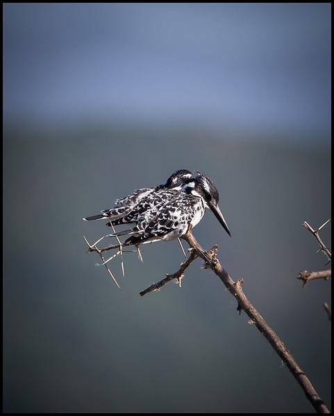 Pied kingfishers, Lake Manyara NP