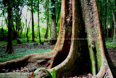 017-rain_forest_tree-belize-05nov06-1409