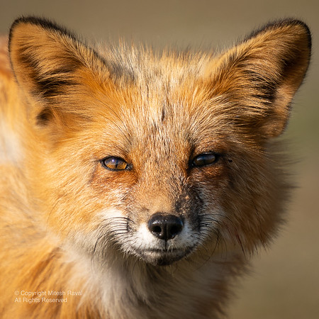 San Juan Red Foxes