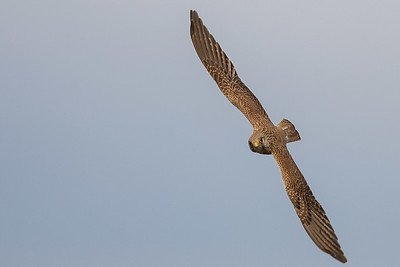 Rovfåglar / Raptors