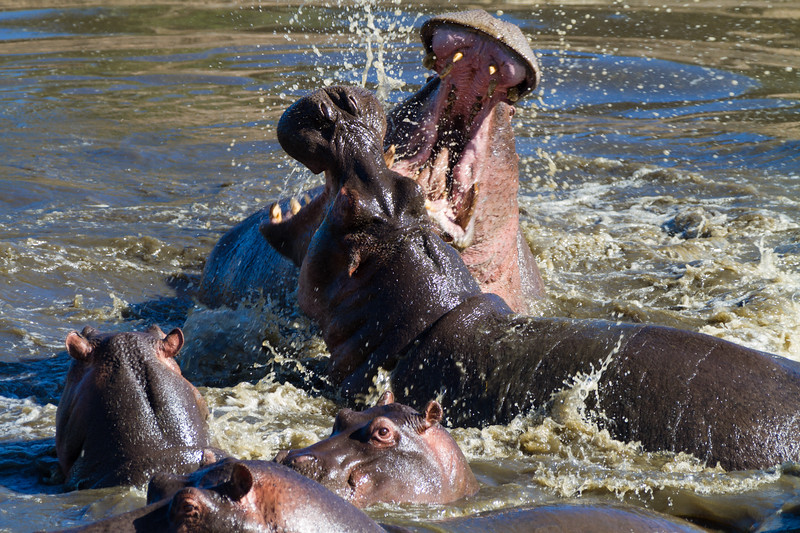 Fighting Hippopotamuses (Hippopotamus amphibious), Tanzania - Serengeti National Park