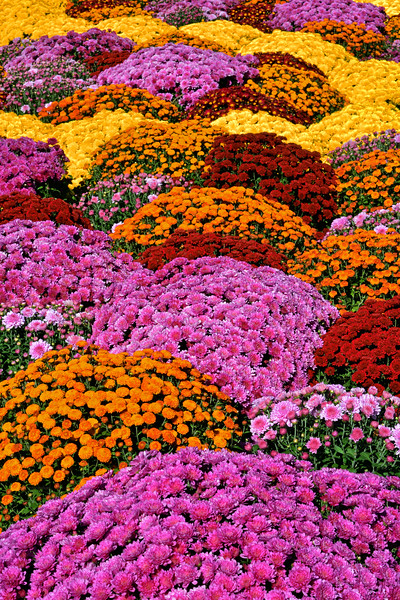 Chrysanthemum Rainbow of Colors