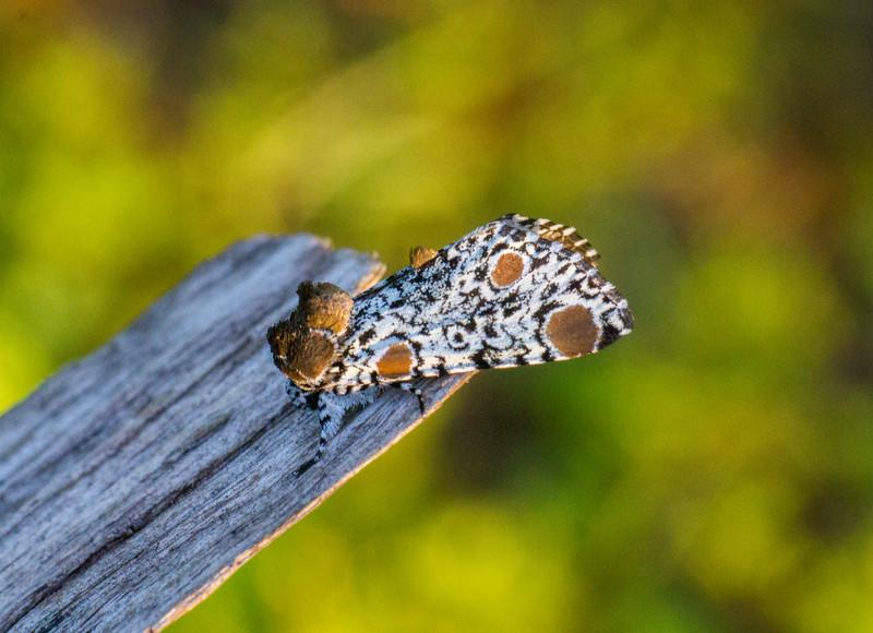 Harrisimemna trisignata Harris's Three-Spot moth 93-1498 9286 Family Noctuidae Skogstjarna Carlton County MN  IMG_0303.jpg