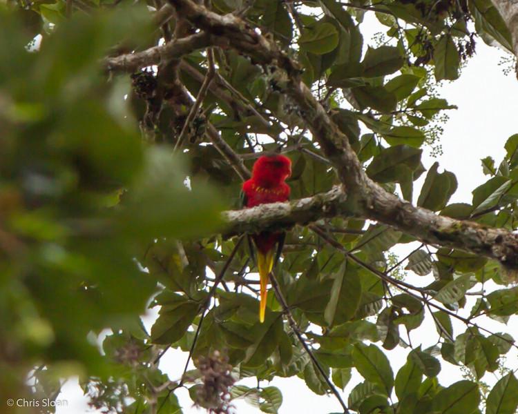 Fairy Lorikeet at Upper Tari Valley, Papua New Guinea (10-05-2013) 1667.jpg