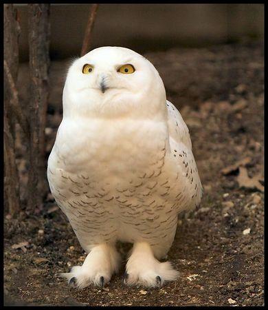 Bronx Zoo Snowy Owls