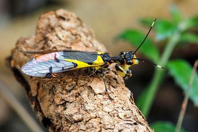 Mantispidae - Mantid Lacewings