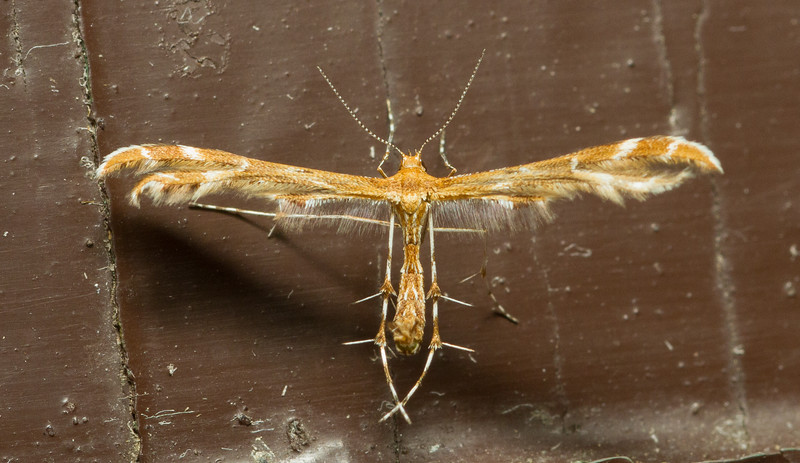 Plume moth, Pterophoridae: Pterophorinae: Platyptiliini, from Grand Teton National Park in Wyoming.