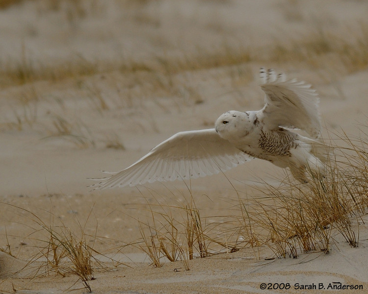 Take off!   Snowy Owl Assateague Island National Seashore, Maryland December 2008