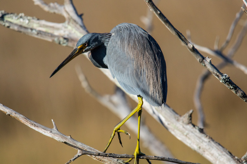 Tri-colored Heron Georgia 2019-4.jpg