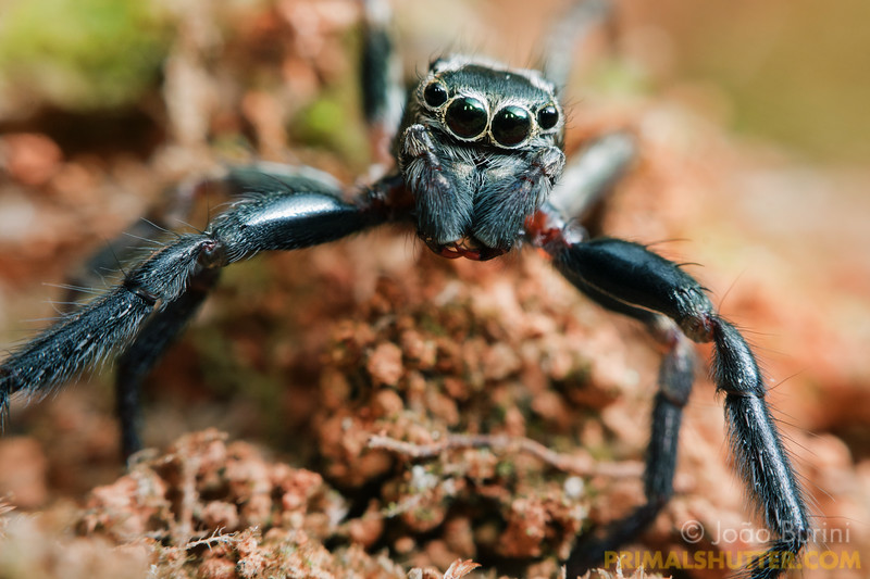 Portrait of a long legged jumping spider