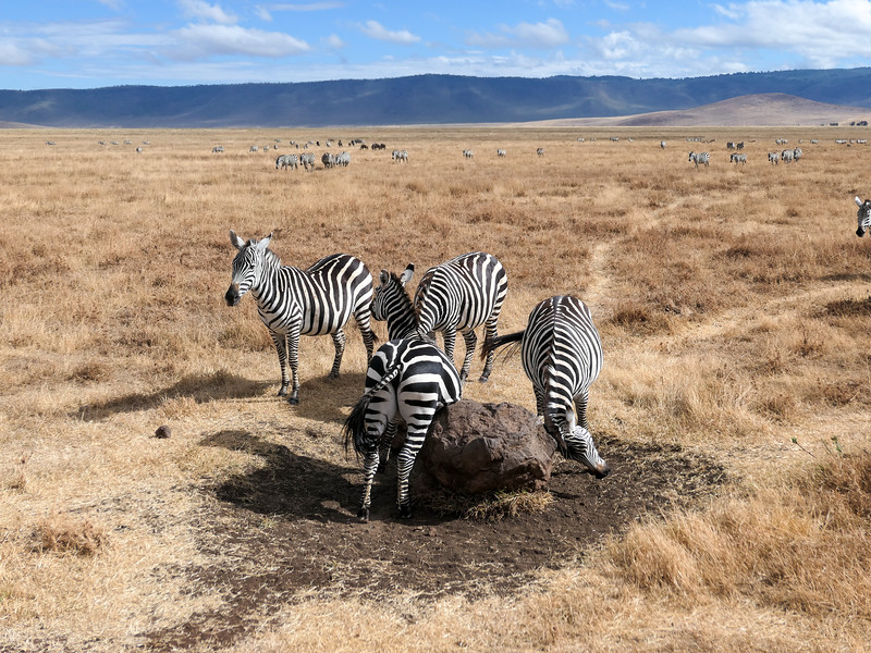 Zebras scratching on a rock