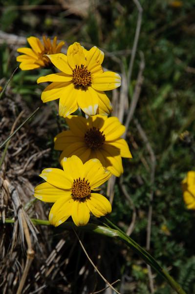 Peruvian Flora