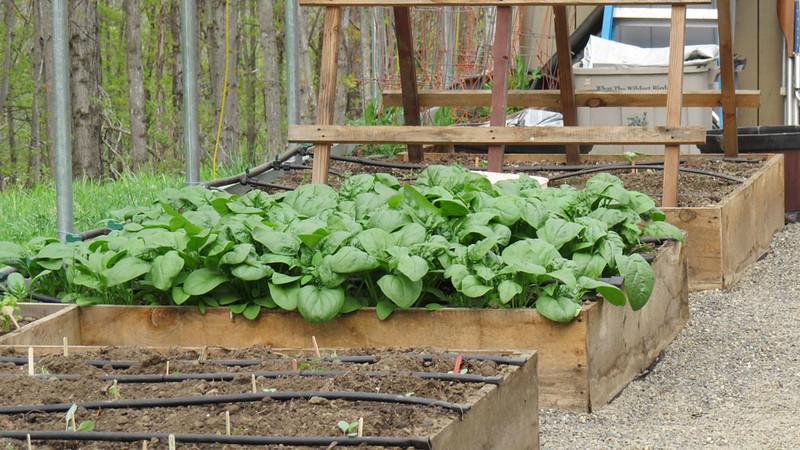 May-5-spring-spinach.jpg