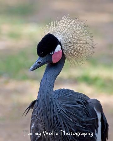 Crane, Black-Crowned