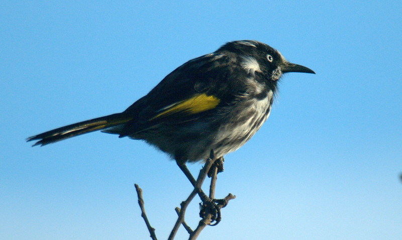 New Holland Honey Eater.jpg