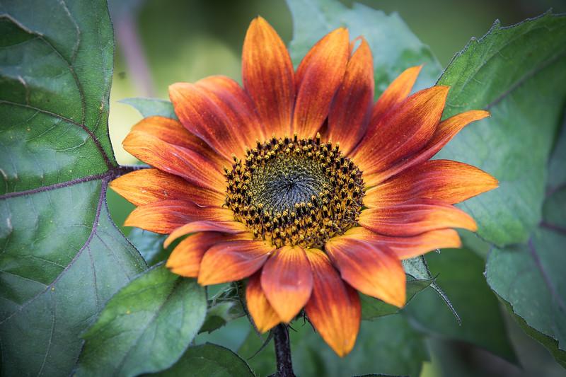 Sunflower Prints