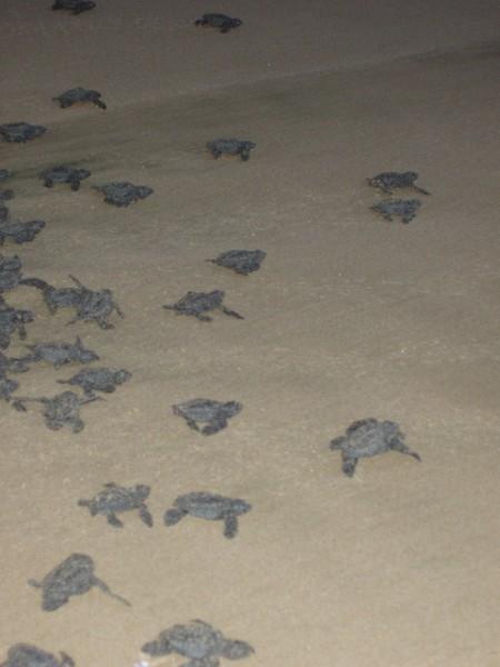 2007-11-30-0031-Las Alamandas in Jalisco, Mexico with Hahns-Sea Turtles Hatched from Rescued Eggs at Las Almandas.jpg