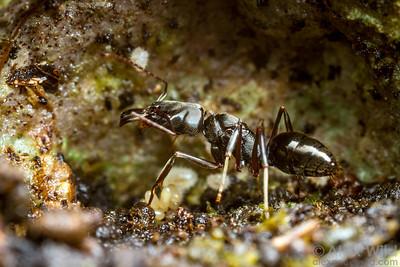 Odontomachus haematodus