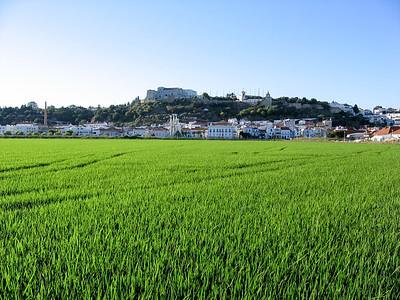 Ricefield in Portugal