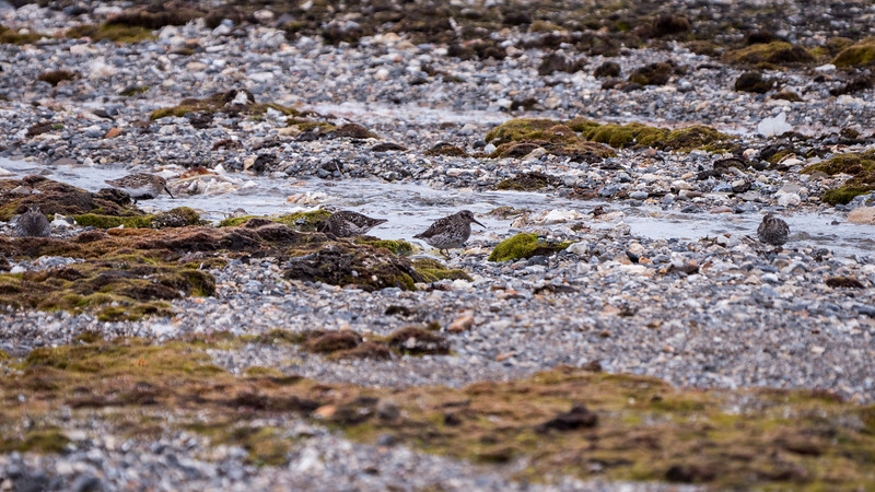 Purple Sandpiper and Dunlin