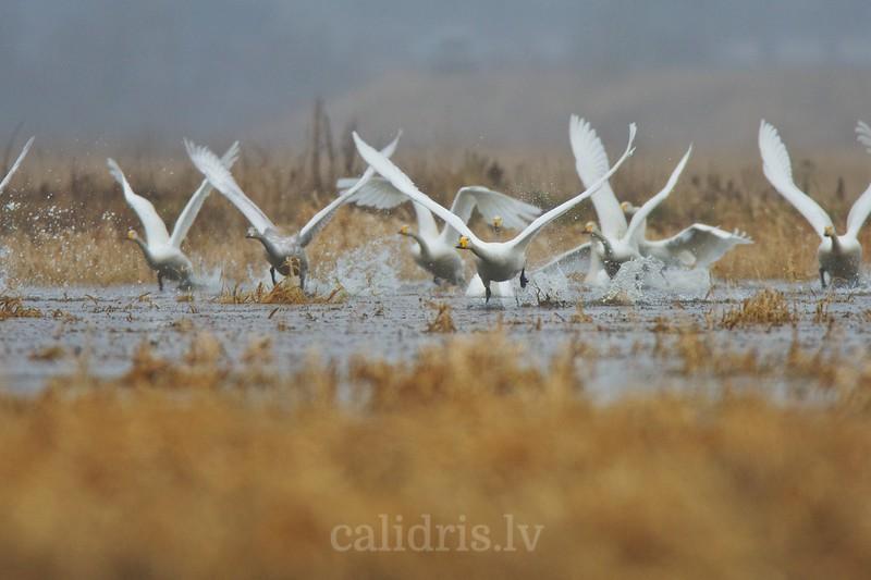 Cygnus cygnus, kalendars2011, Svēte, Whooper Swan, Ziemeļu gulbis