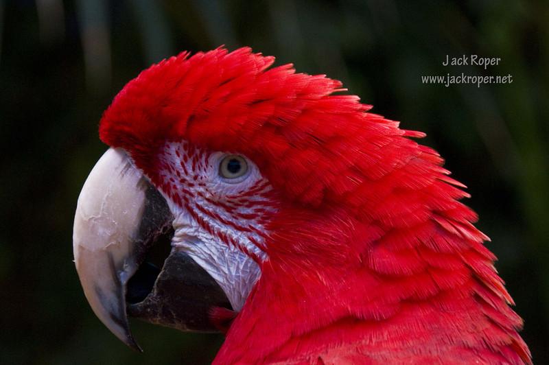 Macaw .jpg