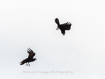 Common Raven, 3 Nov 2018