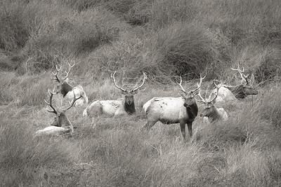 Point Reyes Tule Elk