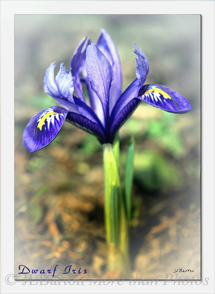 Dwarf Iris