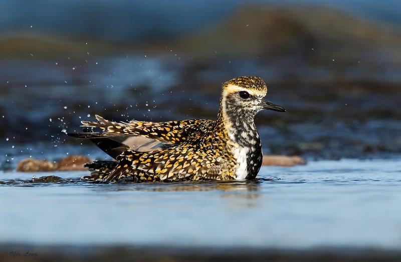 Pacific Golden Plover 8.jpg