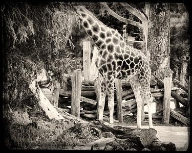 Auckland Zoo IV