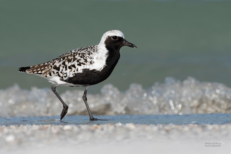 Grey Plover, Fort De Soto, St Petersburg, FL, USA, May 2018-7.jpg