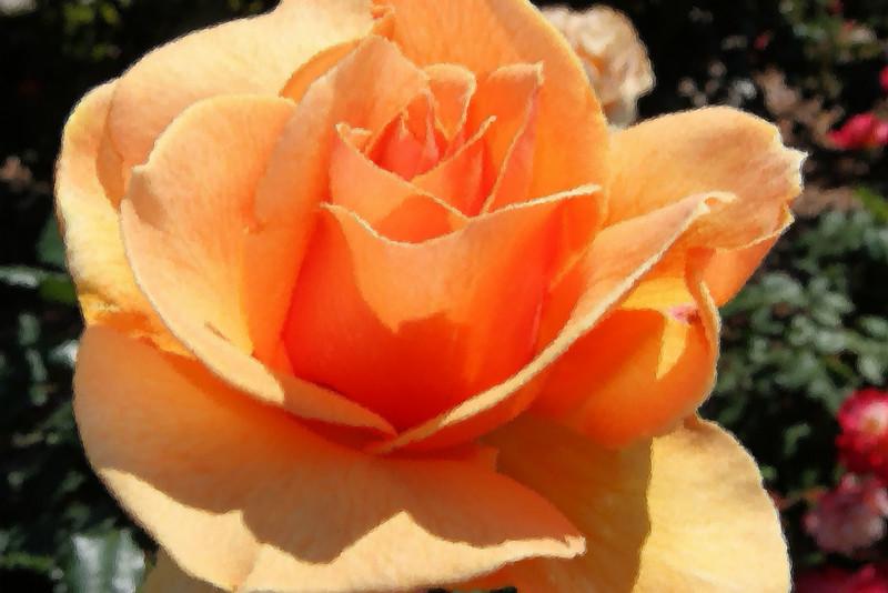 Orange Sherbert - Rose in Watercolor