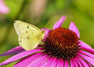 Butterflies - Misc