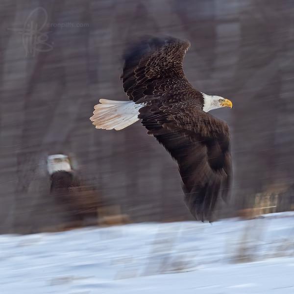 sm eagle_M4D3408.jpg