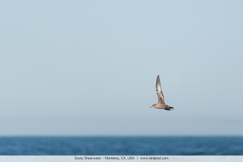 Sooty Shearwater - Monterey, CA, USA