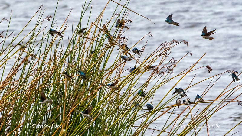 _DSC5055Tree Swallows.jpg